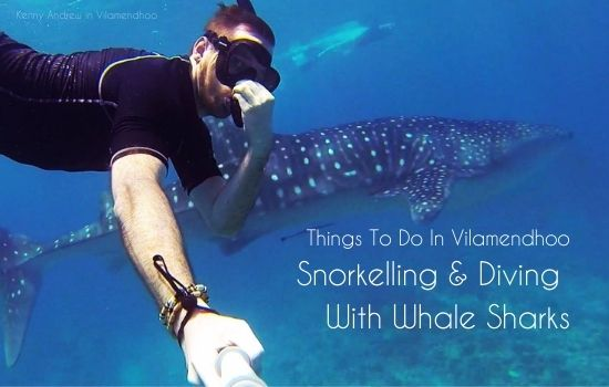 Snorkelling and diving with whale sharks in the Maldives