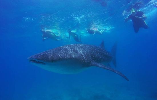 Best Family Whale Shark Excursion - Vilamendhoo Maldives