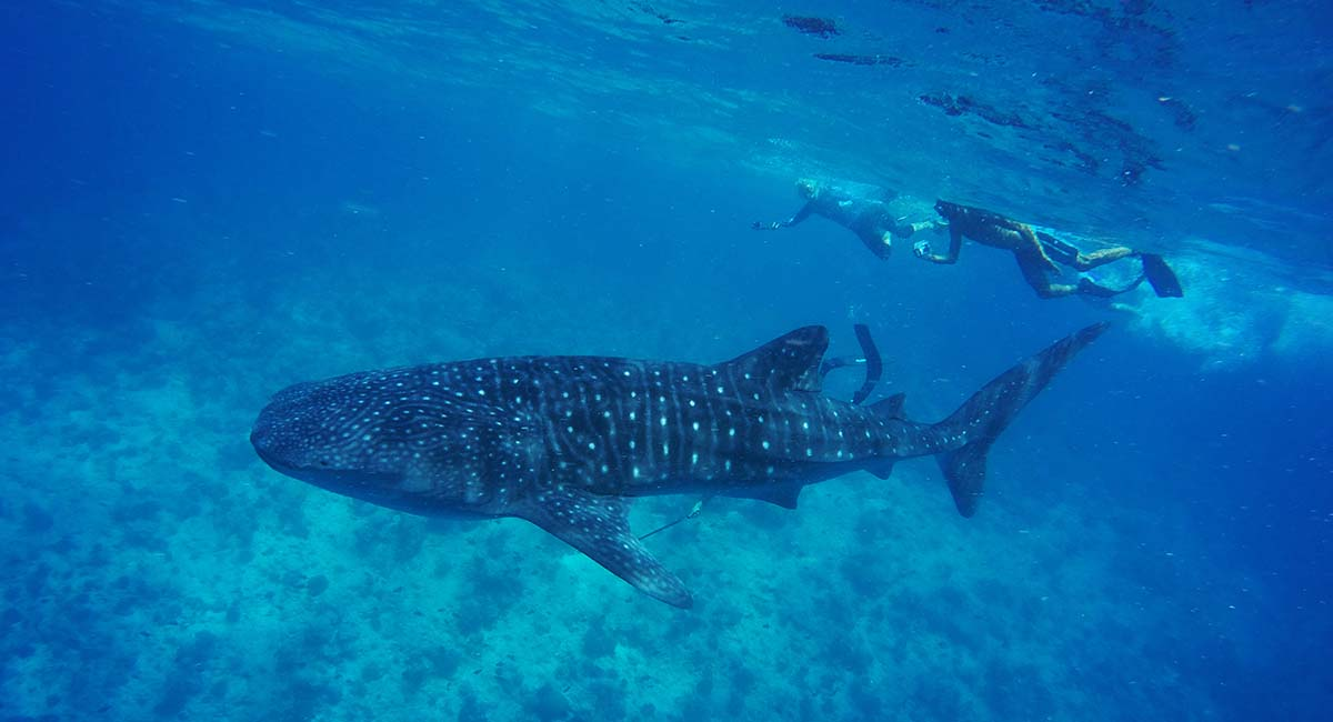 Whale Sharks at Vilamendhoo Maldives