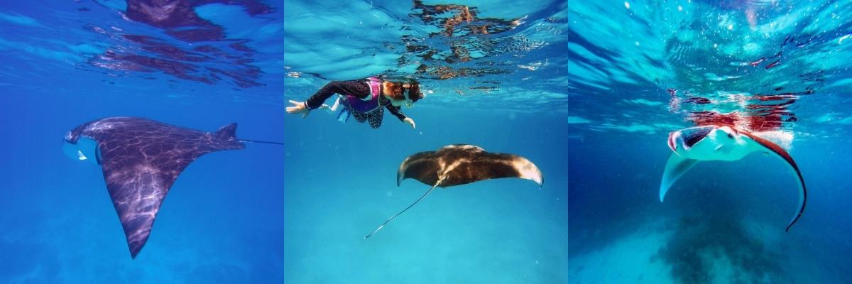Manta Rays in The Maldives with Vilamendhoo Island South Ari